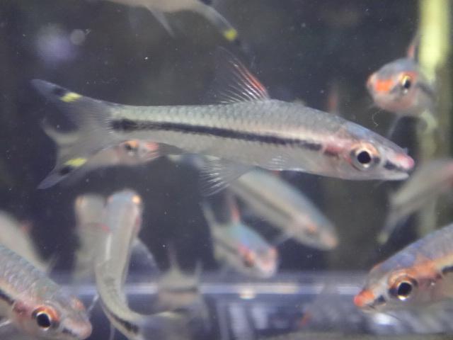 180726 熱帯魚 金魚 めだか 水草_f0189122_13164777.jpg