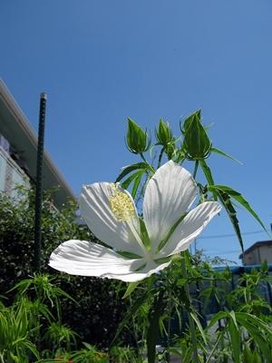 モミジアオイ 咲きました_f0129726_23015178.jpg