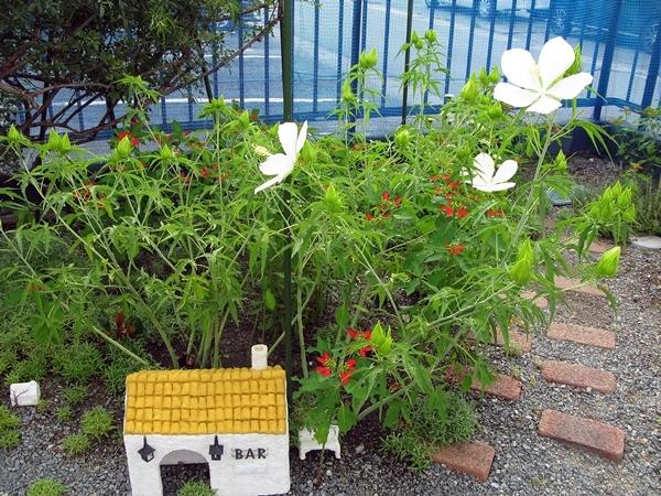 モミジアオイ 咲きました_f0129726_23071883.jpg