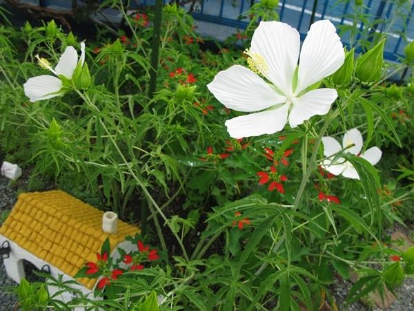 モミジアオイ 咲きました_f0129726_23173249.jpg