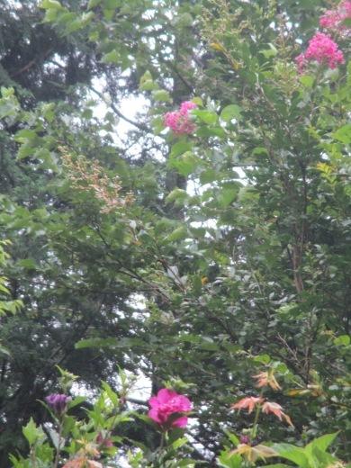 酷暑の夏の花は涼しげな色で   7月26日(木)_d0127634_07043354.jpg