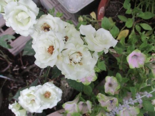 酷暑の夏の花は涼しげな色で   7月26日(木)_d0127634_07115449.jpg