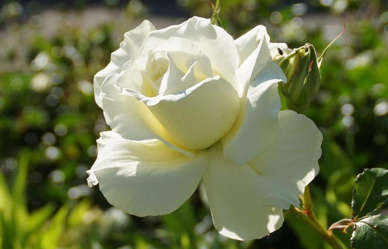 白い花_d0162994_05561061.jpg