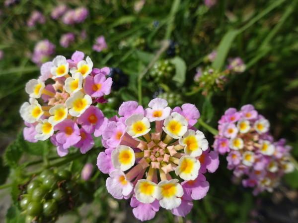 ランタナに花と実…2018/7/27_f0231709_13221335.jpg
