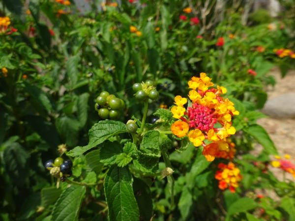 ランタナに花と実…2018/7/27_f0231709_13224394.jpg