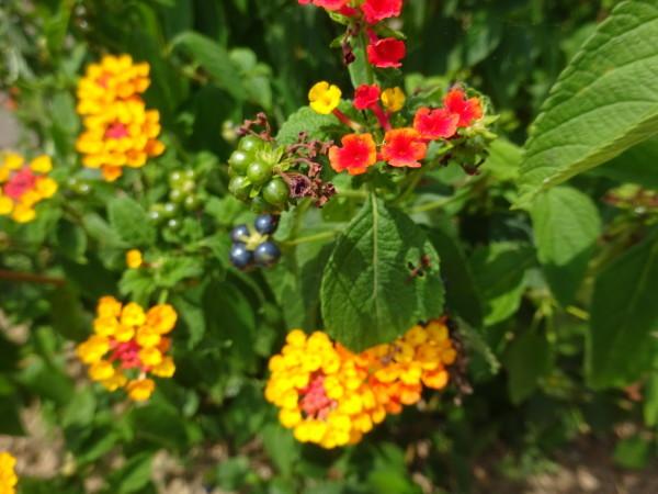 ランタナに花と実…2018/7/27_f0231709_13242473.jpg