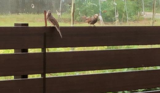 庭にある梅の木の剪定中に、ヒナが居る巣を落としてしまいました。_e0074251_07342323.jpg