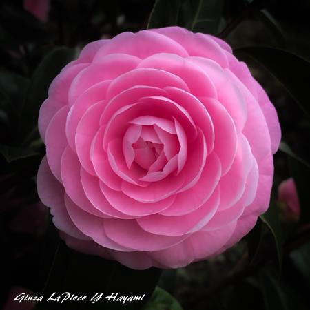 花のある風景 桃色オトメツバキ_b0133053_00230815.jpg