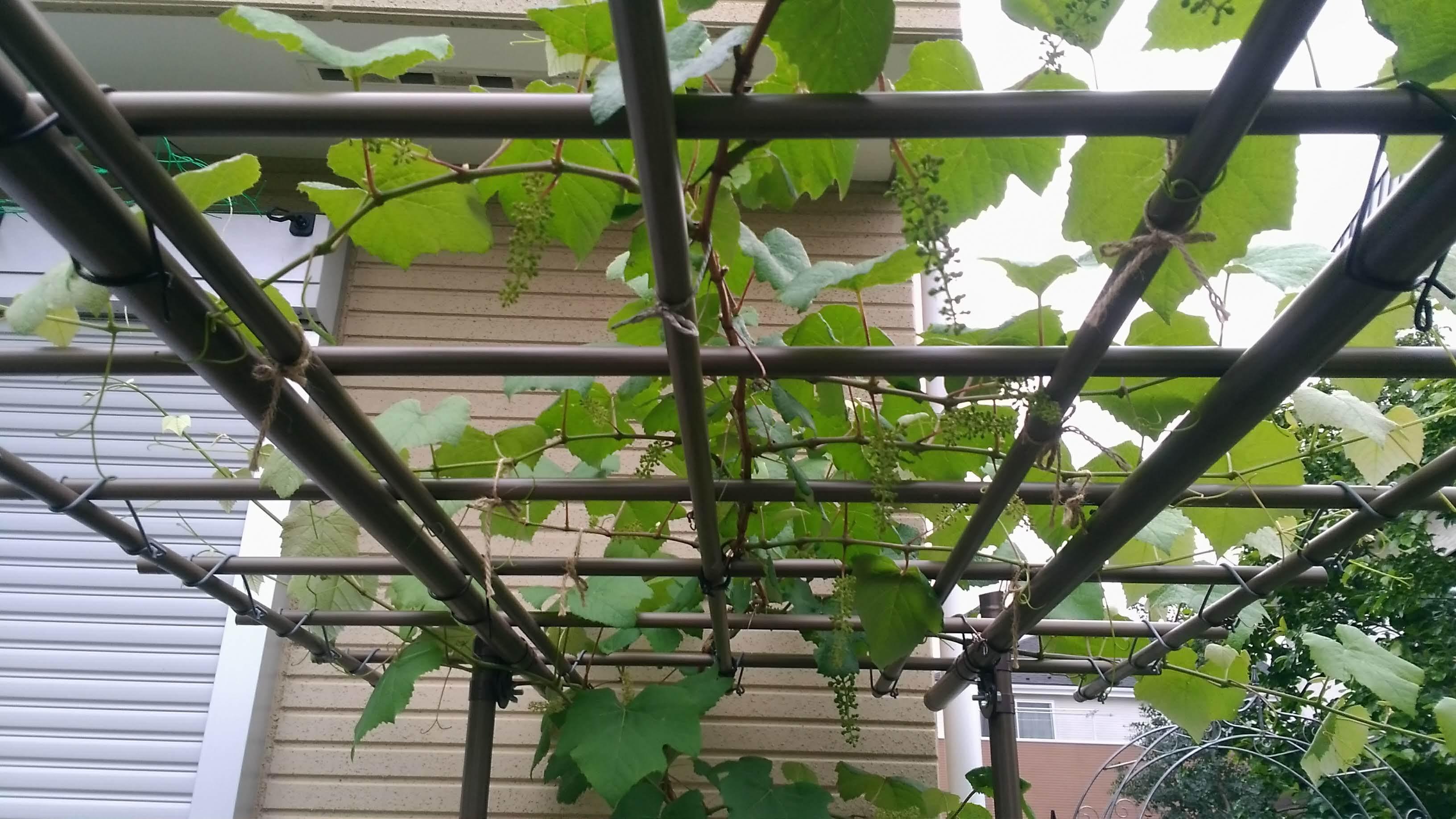 葡萄のスチューベンの成長_c0197684_12393273.jpg