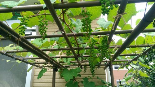 葡萄のスチューベンの成長_c0197684_12404482.jpg