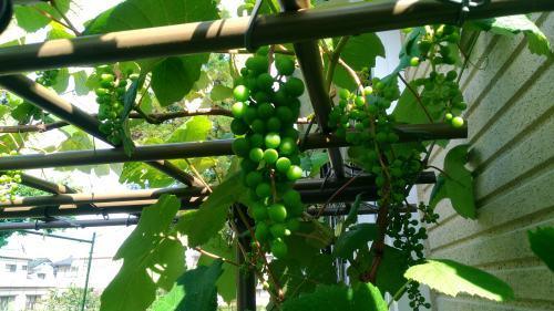 葡萄のスチューベンの成長_c0197684_12415425.jpg