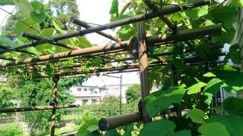 葡萄のスチューベンの成長_c0197684_12425585.jpg