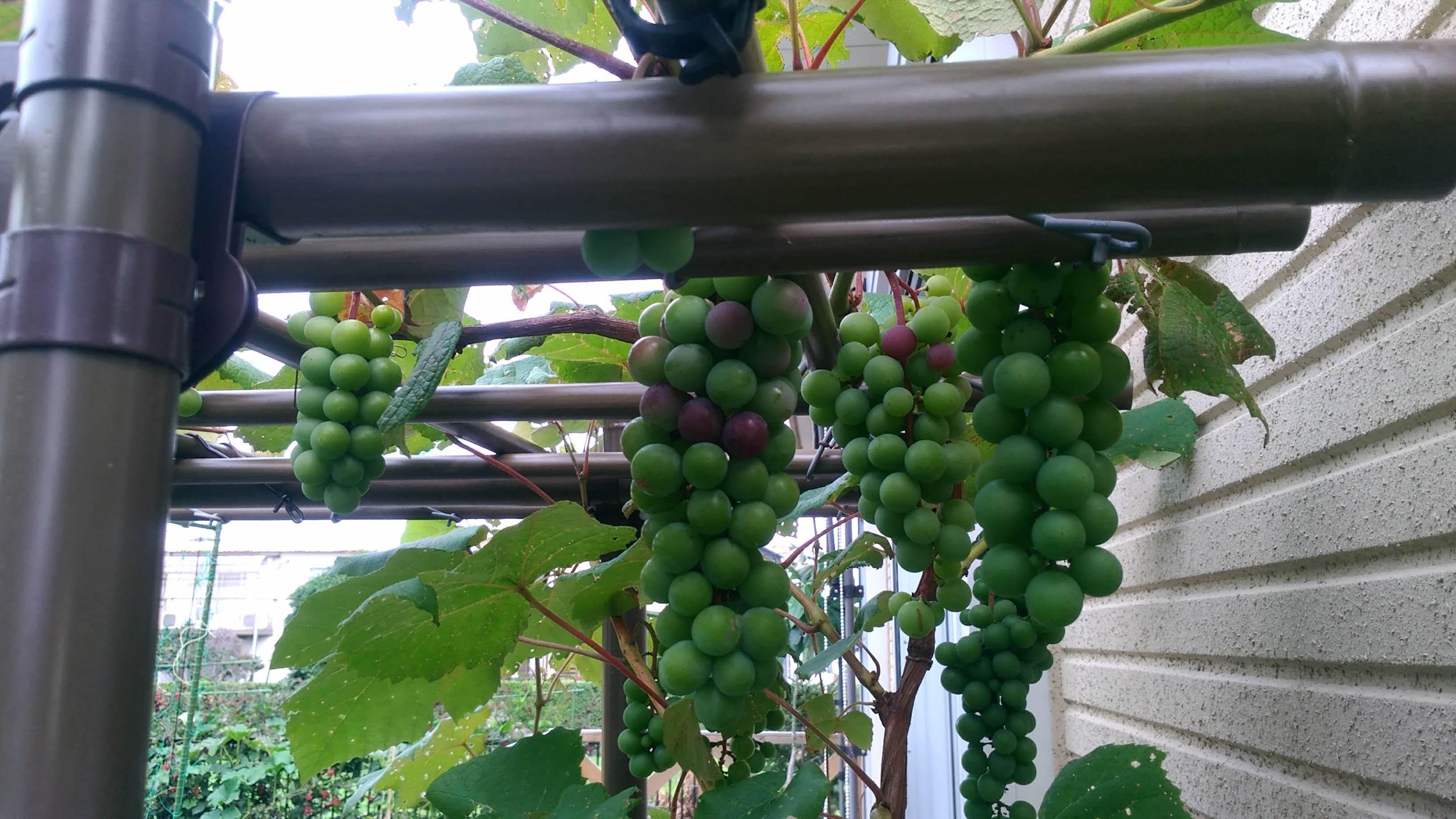 葡萄のスチューベンの成長_c0197684_12431086.jpg
