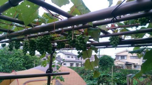 葡萄のスチューベンの成長_c0197684_12434781.jpg