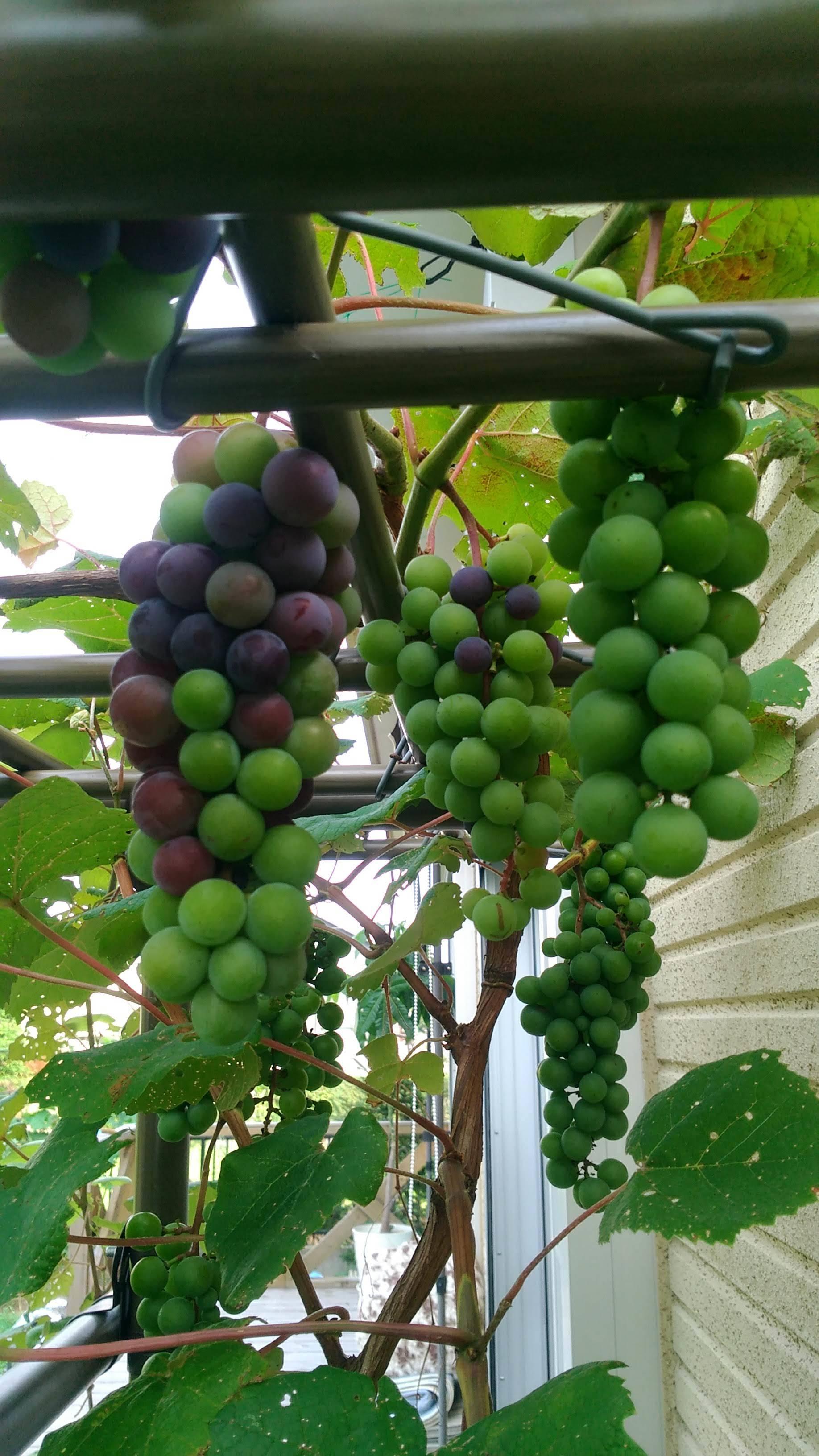 葡萄のスチューベンの成長_c0197684_12441763.jpg