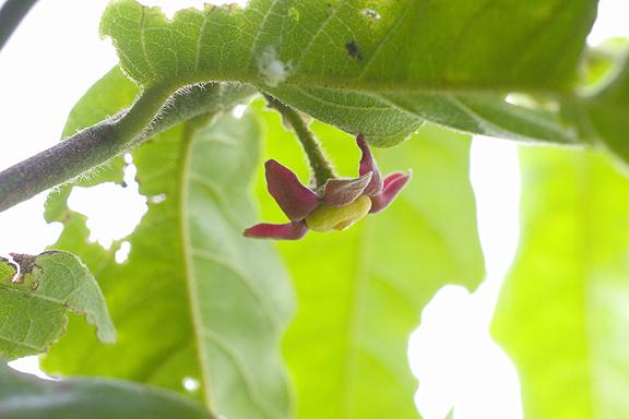 スイギュウノチチ (Uvaria rufa)の花