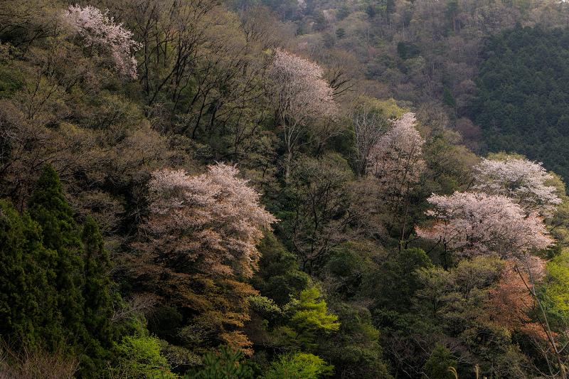 桜咲く滋賀2018 畑のしだれ桜_f0155048_18254276.jpg