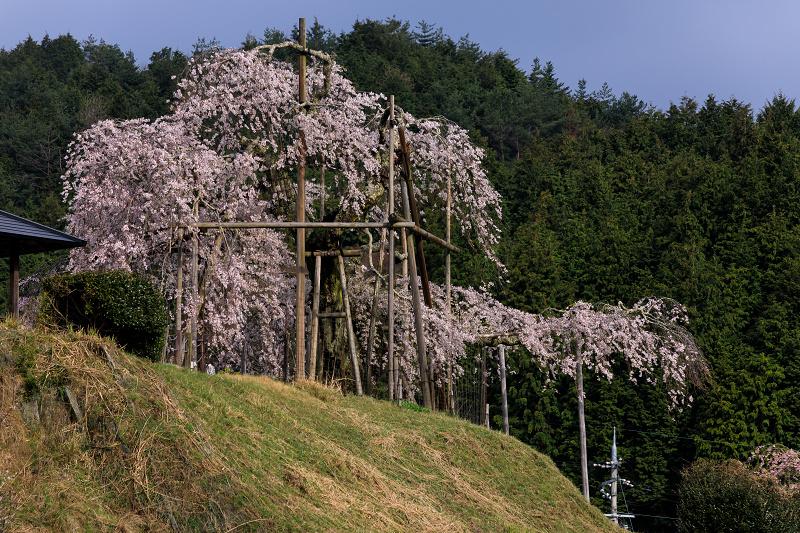 桜咲く滋賀2018 畑のしだれ桜_f0155048_18255213.jpg