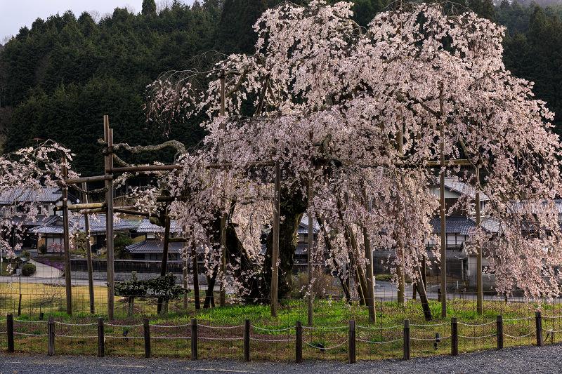 桜咲く滋賀2018 畑のしだれ桜_f0155048_18261457.jpg