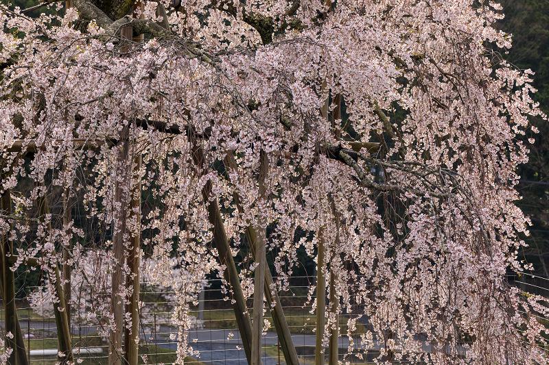 桜咲く滋賀2018 畑のしだれ桜_f0155048_1826194.jpg