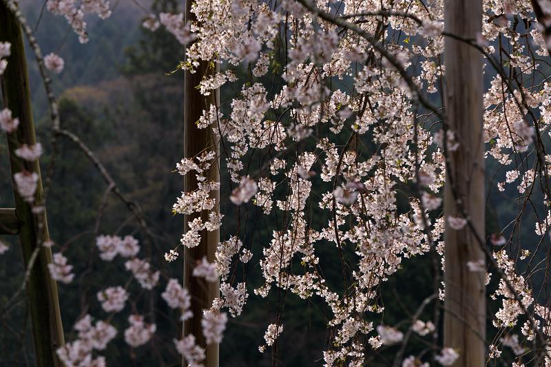 桜咲く滋賀2018 畑のしだれ桜_f0155048_18263840.jpg