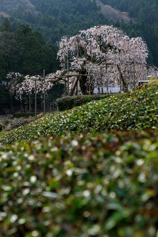 桜咲く滋賀2018 畑のしだれ桜_f0155048_18271178.jpg