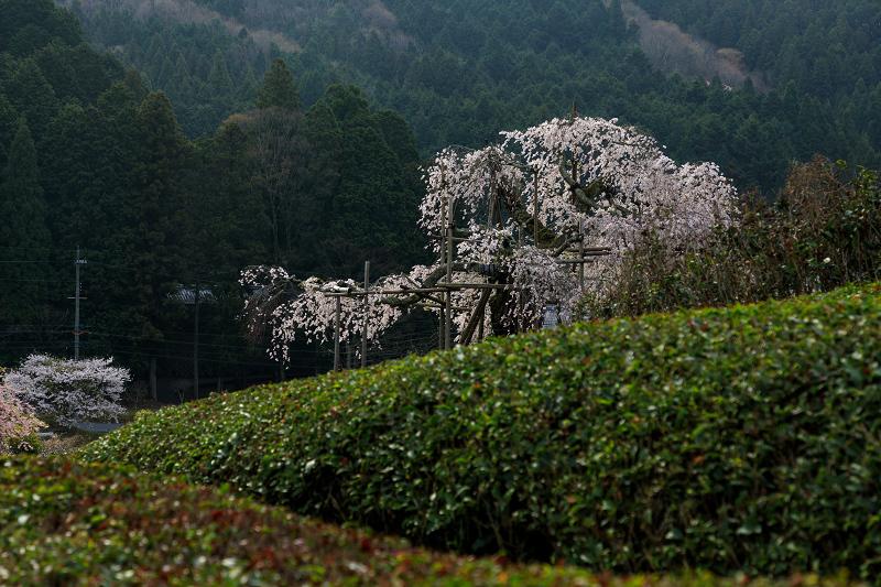 桜咲く滋賀2018 畑のしだれ桜_f0155048_1827842.jpg