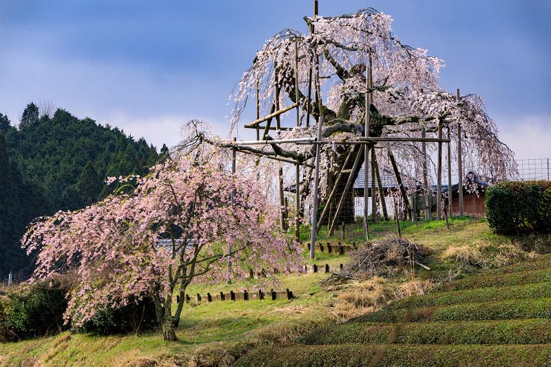 桜咲く滋賀2018 畑のしだれ桜_f0155048_18282116.jpg