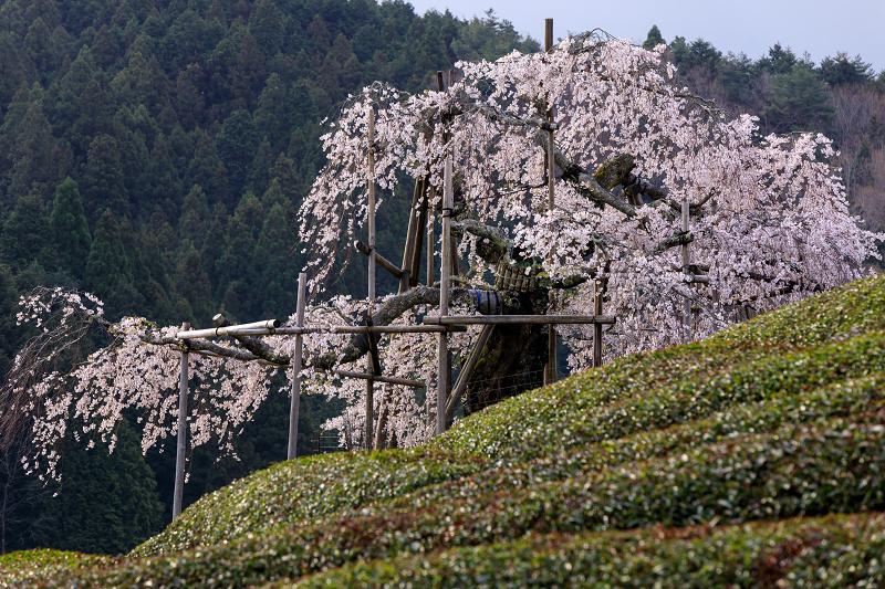 桜咲く滋賀2018 畑のしだれ桜_f0155048_18285294.jpg