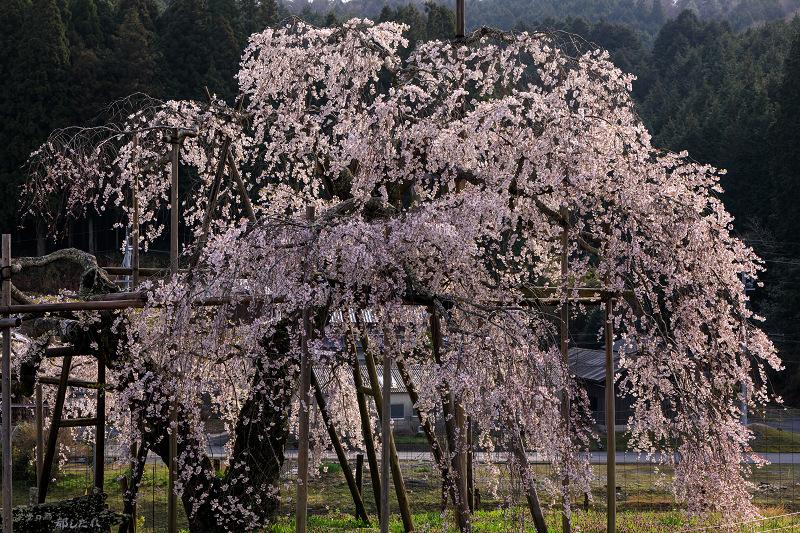 桜咲く滋賀2018 畑のしだれ桜_f0155048_18293237.jpg