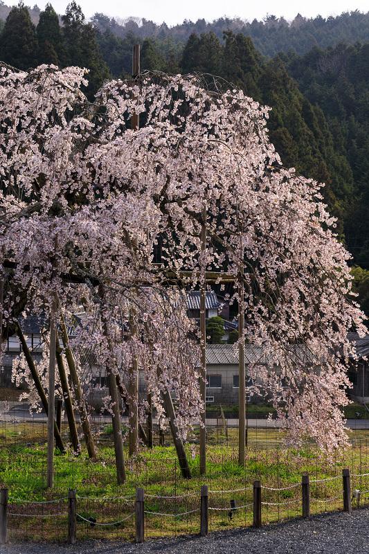 桜咲く滋賀2018 畑のしだれ桜_f0155048_1830365.jpg