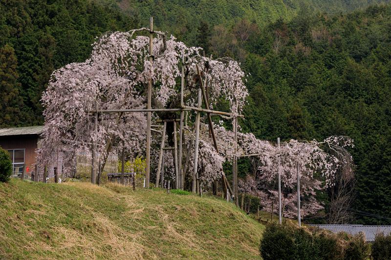 桜咲く滋賀2018 畑のしだれ桜_f0155048_18303873.jpg