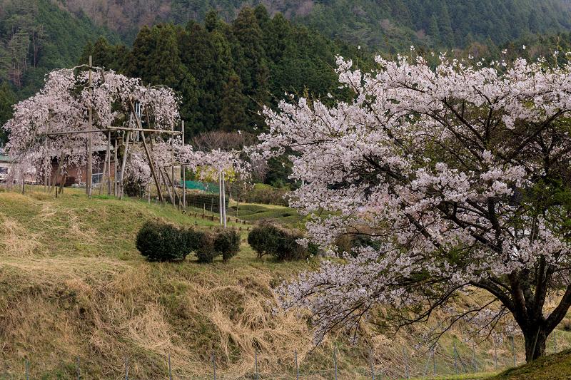 桜咲く滋賀2018 畑のしだれ桜_f0155048_18305376.jpg