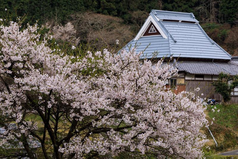 桜咲く滋賀2018 畑のしだれ桜_f0155048_18314182.jpg