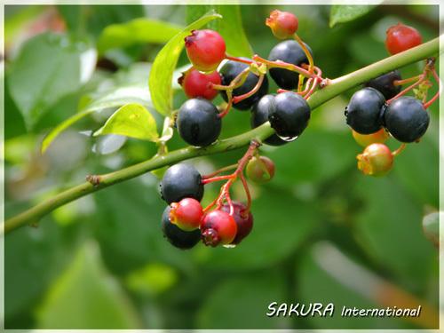 夏の庭 ブルーベリー_a0216871_10243794.jpg