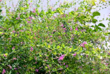 涼しげにハギの花が咲いています_b0145296_14540076.jpg