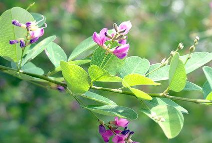 涼しげにハギの花が咲いています_b0145296_14540767.jpg