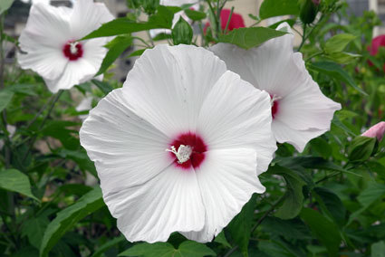 大きな花を咲かせるアメリカフヨウ_b0145296_21481246.jpg
