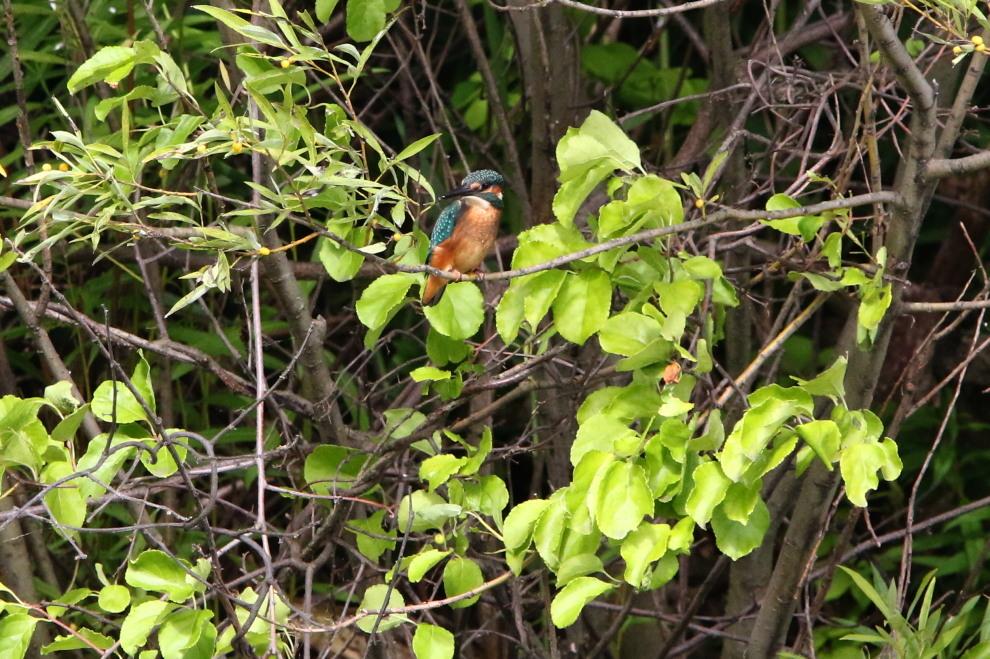 木に登ったバン&遠くのカワセミ_c0360399_22291628.jpg