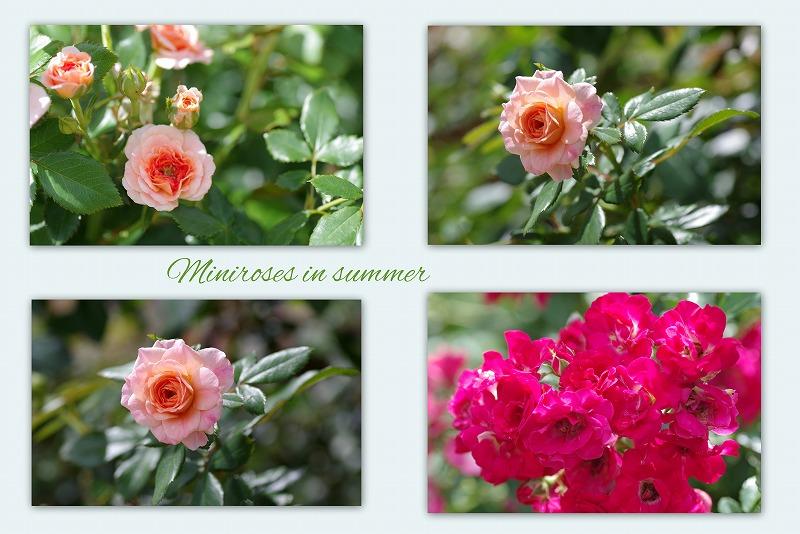 夏バラと蝉と_d0147812_13444756.jpg