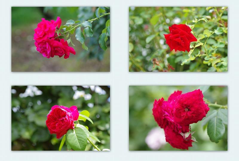 夏バラと蝉と_d0147812_13481355.jpg