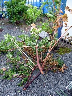 台風上陸 ミモザ倒れる_f0129726_09310883.jpg