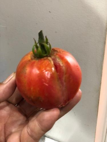 台風一過・・トマトは割れて 茄子の櫓斜めに 今朝の圃場はサウナのような状態_c0222448_11555917.jpg