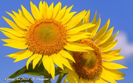 花のある風景 青空ヒマワリ_b0133053_00010013.jpg
