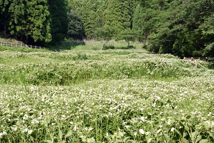 岡田の谷の半夏生園_e0170058_13182805.jpg