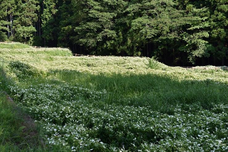 岡田の谷の半夏生園_e0170058_13182995.jpg