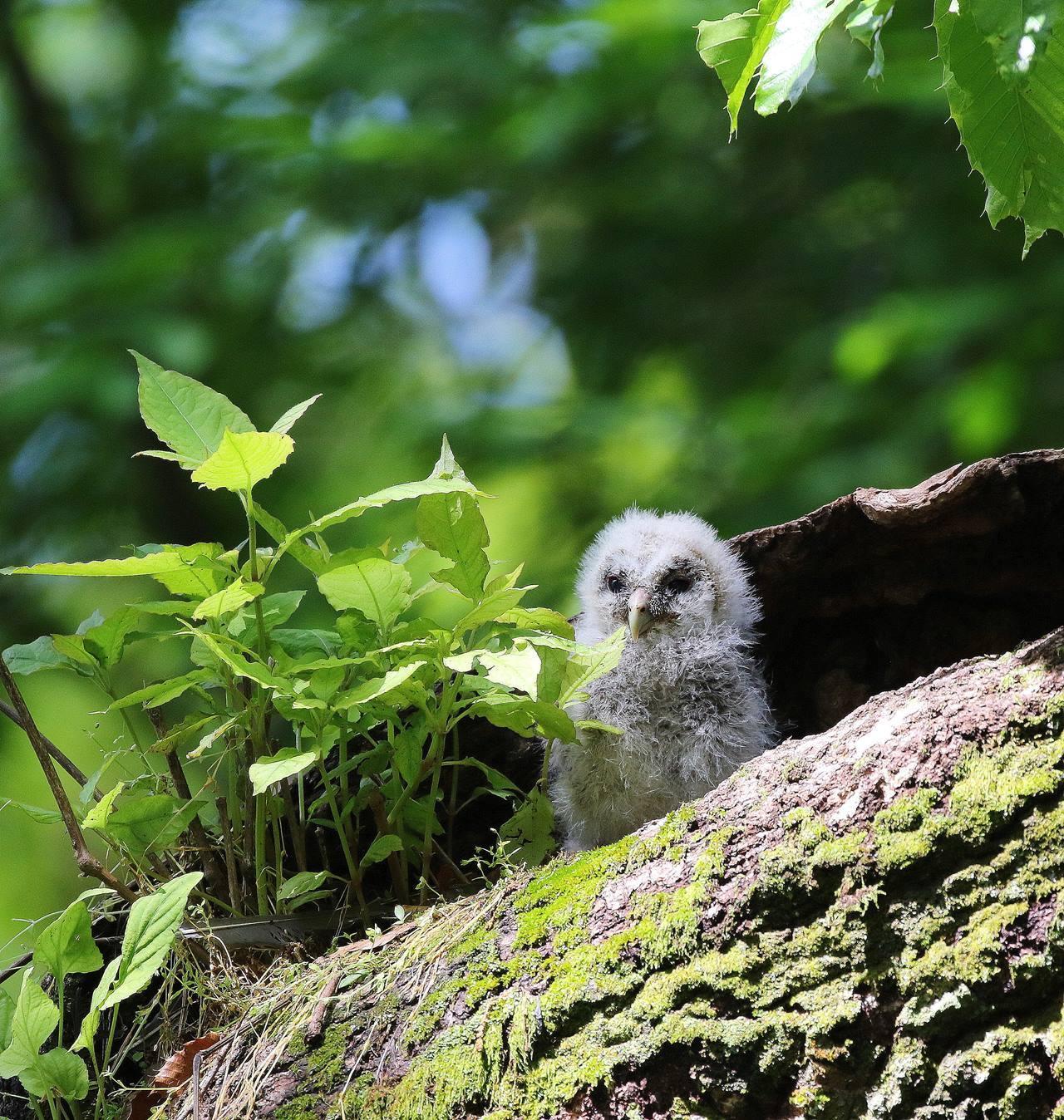春先に出会ったフクロウを(その2)・・・_c0213607_12301120.jpg
