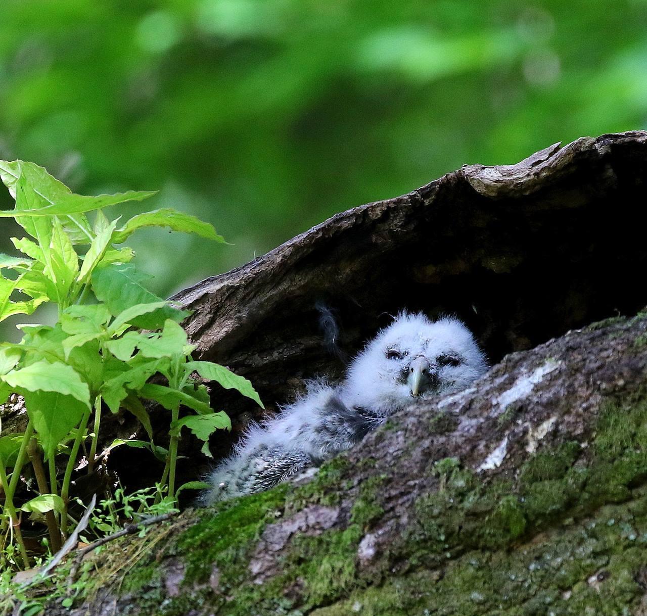 春先に出会ったフクロウを(その2)・・・_c0213607_12302340.jpg