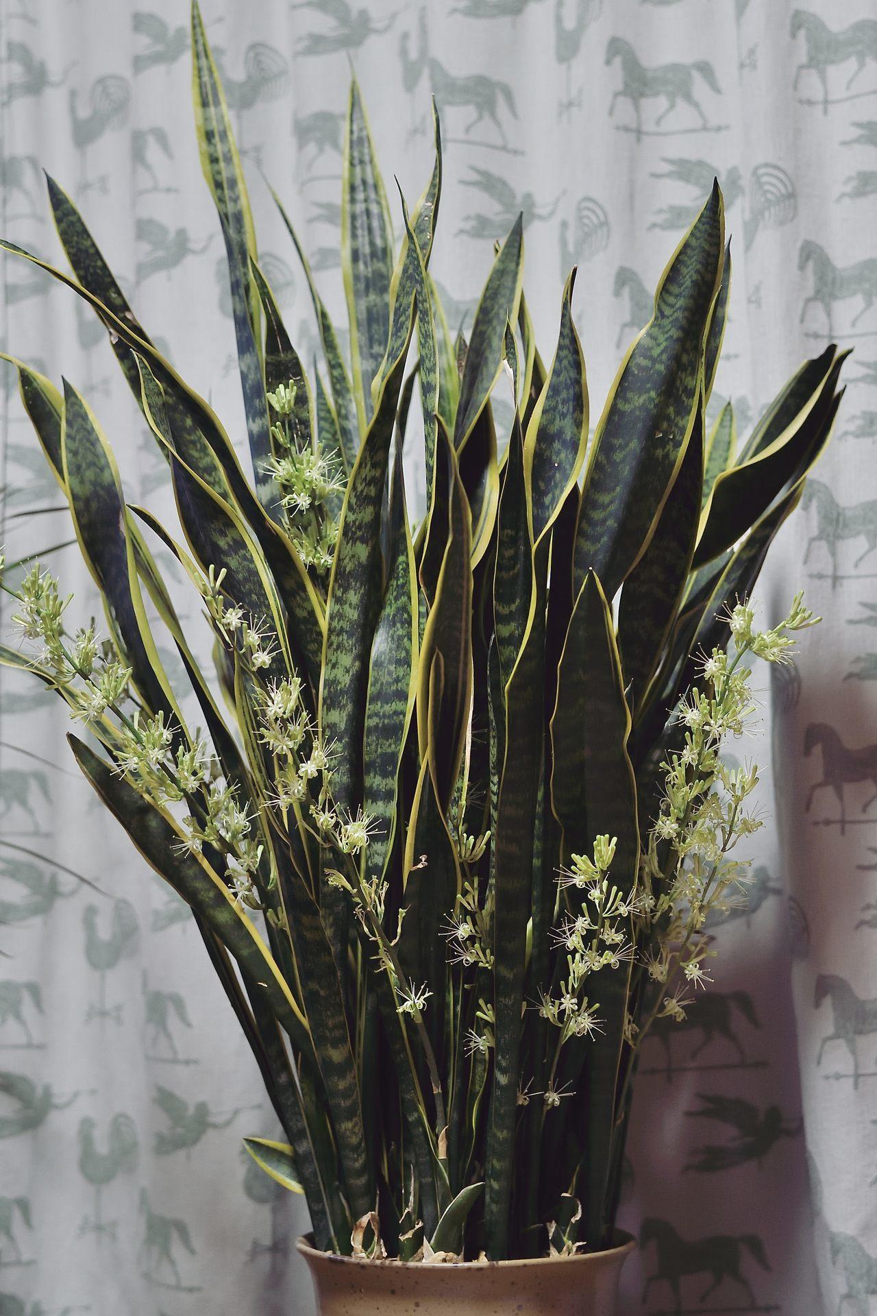 サンスベリアの花が咲きました_c0330563_21000828.jpg