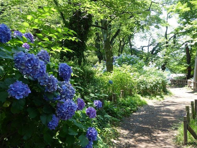 井の頭公園に行ってみたけれど♪ 吉祥寺も暑さ半端なくギブアップ!_b0287088_17481224.jpg